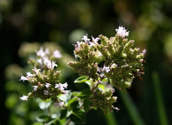 closeup photo of blooming oregano flowers