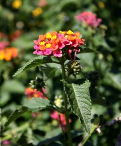 free photo of butterfly bush with pink, orange and yellow flowers