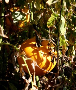 Free photo of two small pumpkins amongst fall foliage
