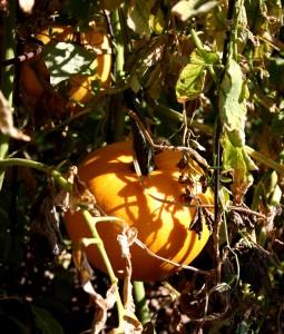 Free photo of two small pumpkins amongst fall foliage