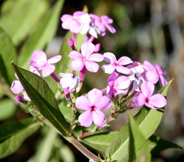 photo of Candytuft (Iberis umbellata) flowers