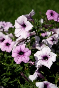 Free photo of purple and pink colored petunia flowers