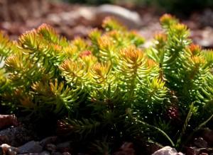 Free photo of sedum growing in a rock garden