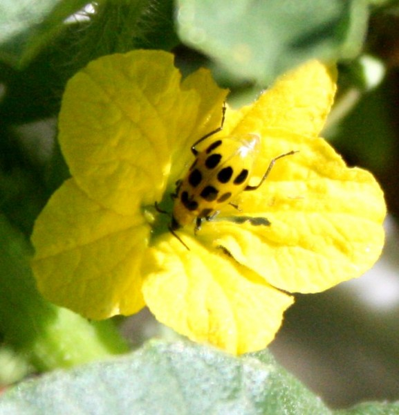closeup photo of a yellow beetle with black spots on a cucumber flower
