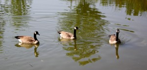 free photo of three Canadian geese swimming in a lake