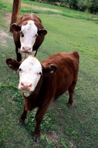 free photograph of a brown dairy cow with her calf.