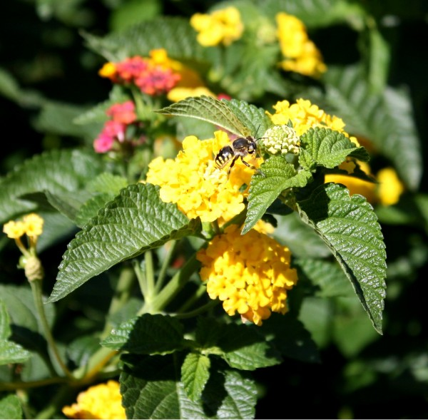 free photo of a wasp on yellow flowers of a butterfly bush