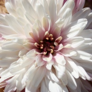 close up photo of a white and pink chrysanthemum flower