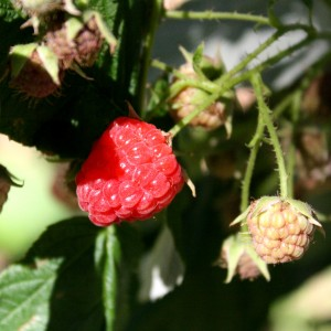 photo of wild raspberries ripening on the bush