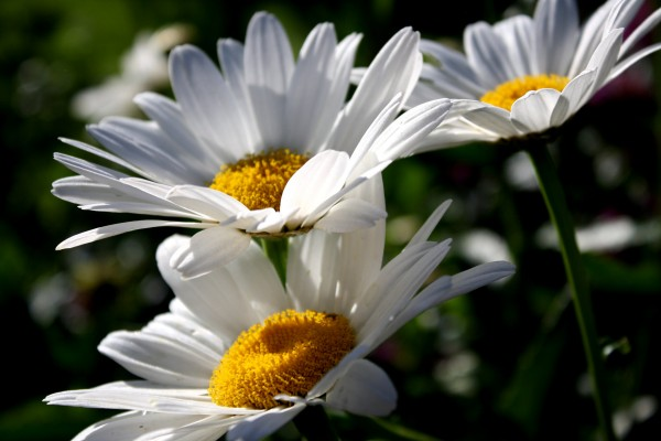 Free close up flowers picture of white daisies from the side