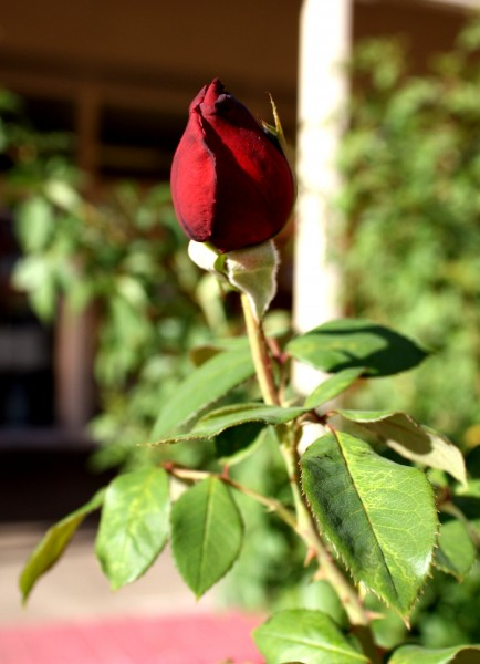 Free photo of a red rose bud