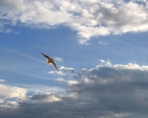 free high resolution photo of a bird in flight with blue sky and clouds