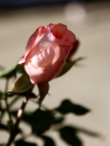 pink rosebud - free high resolution photo