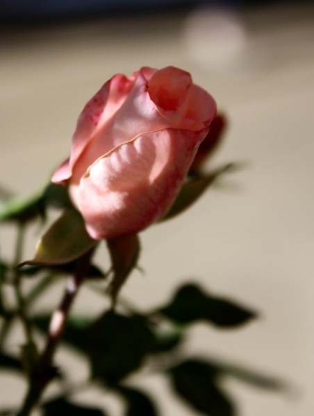 pink rosebud - free high resolution photo