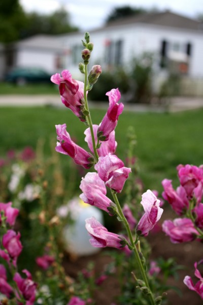 pink snapdragon flowers - free high resolution photo