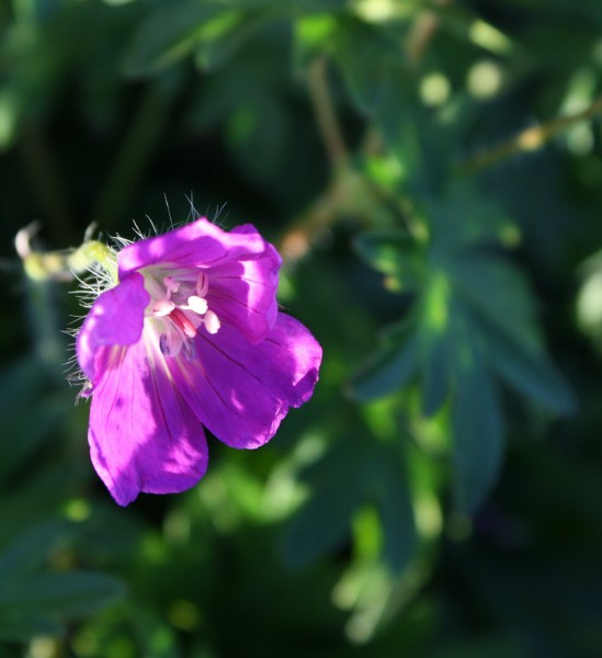 free high resolution photo of purple flower in the sunlight