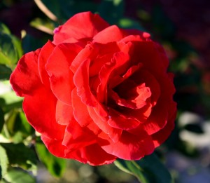 Free photo of a red rose in bloom