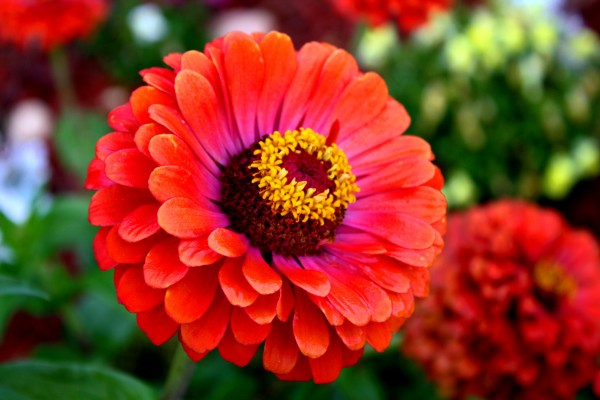 red zinnia flower - free high resolution photo