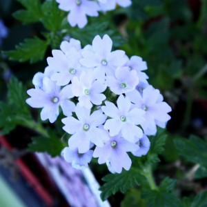 Free photo of a bunch of small white flowers with a hint of purple