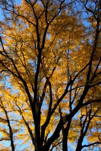 Autumn Locust Tree - Free High Resolution Photo
