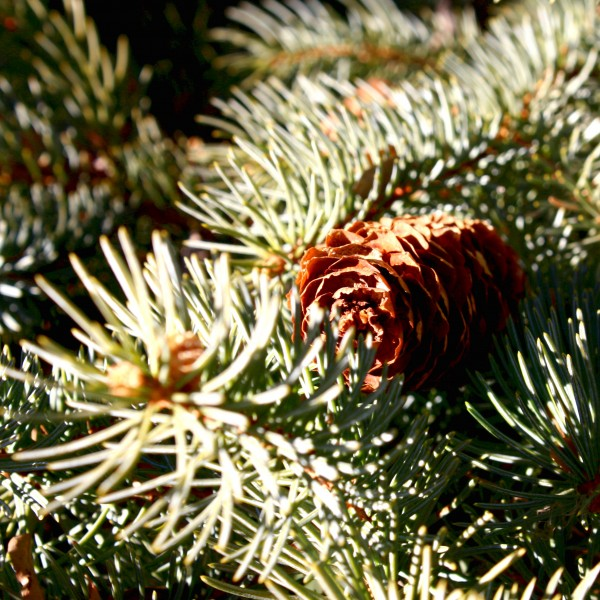 Blue Spruce Pine Cone - free high resolution photo