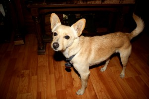 Brown Dog with Pointed Ears - free high resolution photo