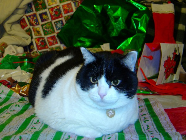 Cat with Christmas Wrapping Paper - Free high resolution photo