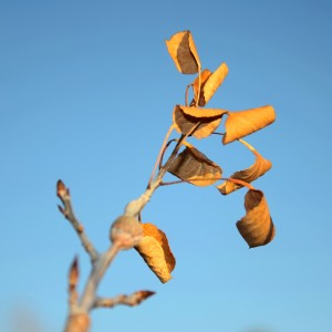 Dead Aspen Leaves - Free high resolution photo