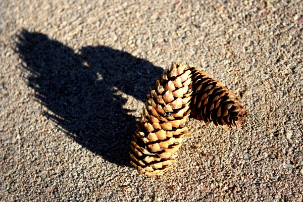 Pine Cones - Free High Resolution Photo