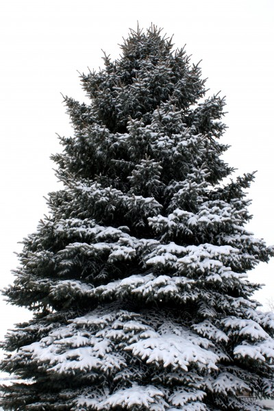 Pine Tree Coated with Snow - Free High Resolution Photo