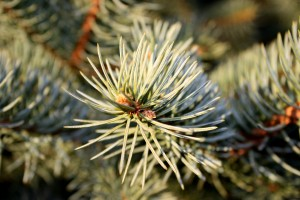 Pine Needles Closeup - Free High Resolution Photo