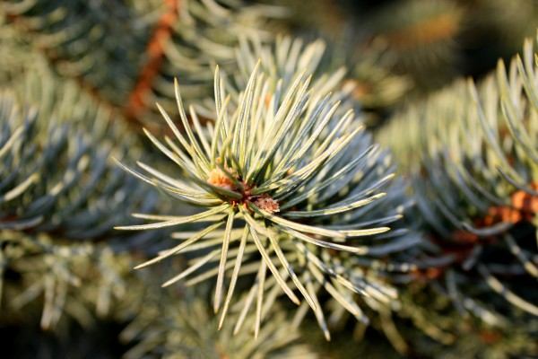 Pine Needles Closeup - Free High Resolution Photo