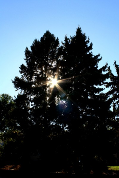 Sun Shining through pine trees - free high resolution photo