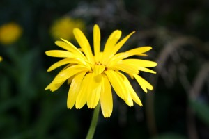 Yellow flower with thin petals - free high resolution photo