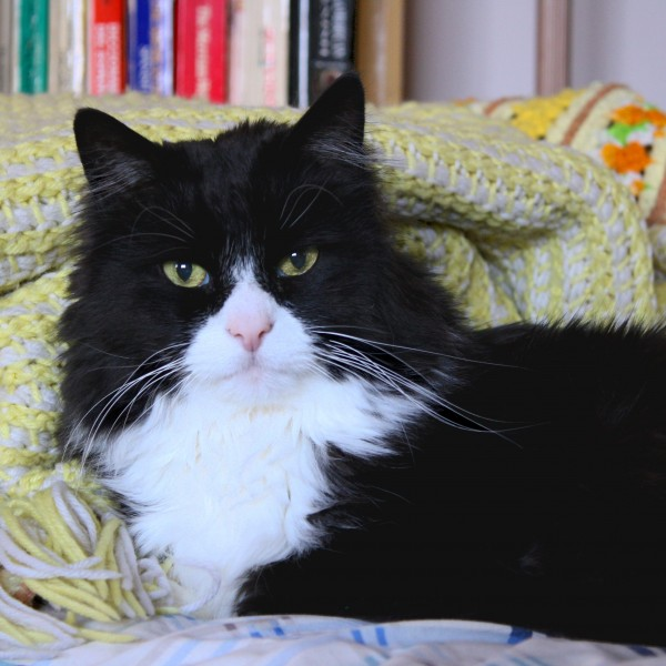 Black and White Tuxedo Cat Closeup - Free High Resolution Photo