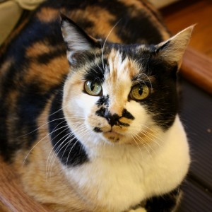 Calico Cat Closeup - Free High Resolution Photo