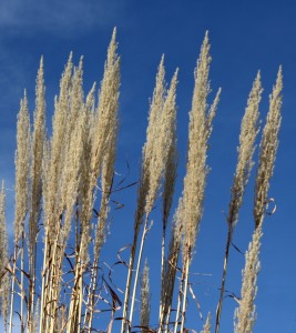 Ornamental Grass Tops - Free High Resolution Photo