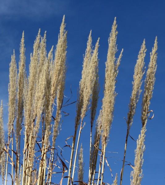 Ornamental Grass Tops - Free High Resolution Photo