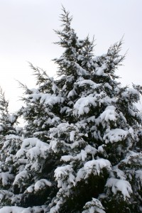 Snow Covered Evergreen Tree - Free High Resolution Photo