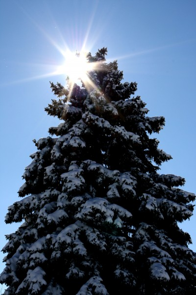 Sun Behind Snow Covered Pine Tree - Free High Resolution Photo