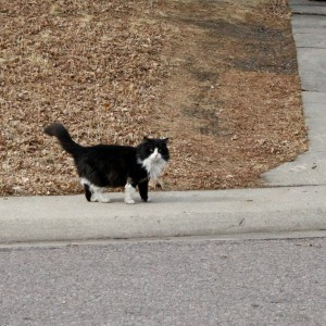 Tuxedo Cat Walking along Sidewalk - Free Photo