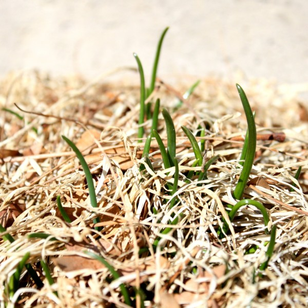 Chives Sprouting in the Spring Garden - Free High Resolution Photo