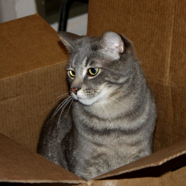 Gray Tabby Cat in Cardboard Box - Free High Res Photo