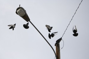 Pigeons Landing on Street Light - Free High Resolution Photo