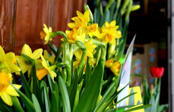 Daffodils For Sale - Free High Resolution Photo