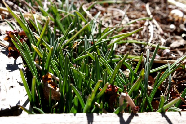 Grape Hyacinth Sprouting in the Early Spring - Free High Resoluton Photo
