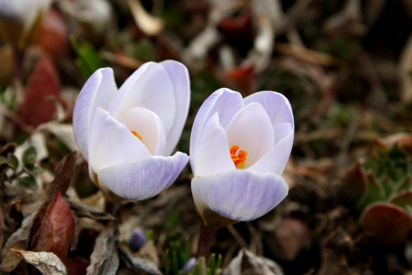 Pale Purple Crocus Flowers - Free High Resolution Photo