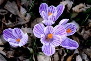 Purple and White Striped Pickwick Crocus Flower - Free High Resolution Photo