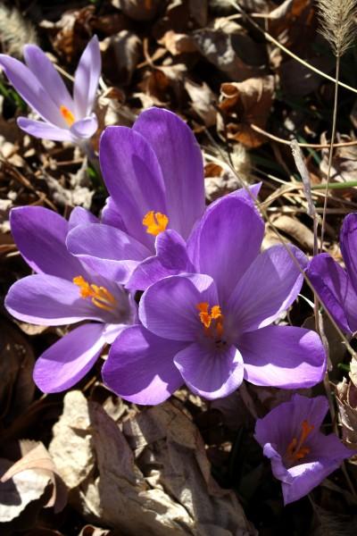 Purple Crocus Flowers - Free High Resolution Photo
