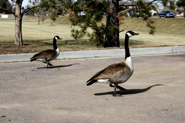 Two Canadian Geese in Parking Lot - Free High Resolution Photo